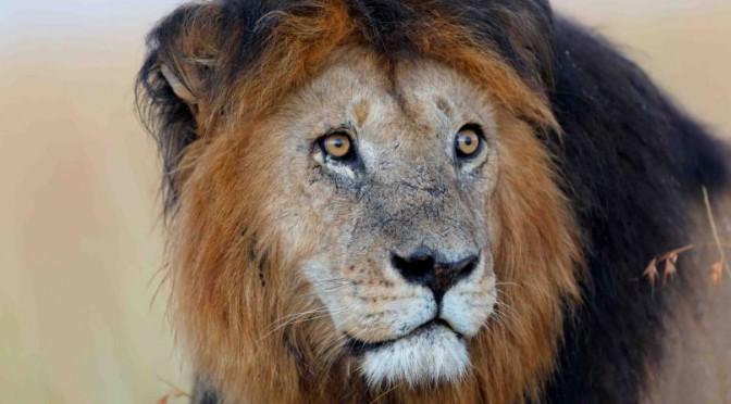 leones etiopes y la historia del leon negro