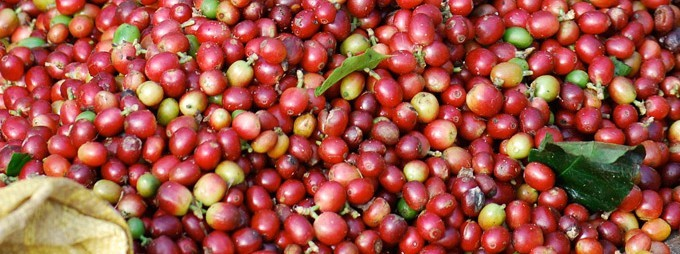 origen del cafe en etiopia