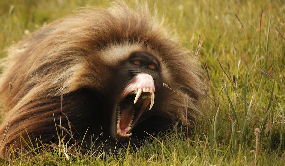 wonderful_gelada_baboon_lip_flip_images
